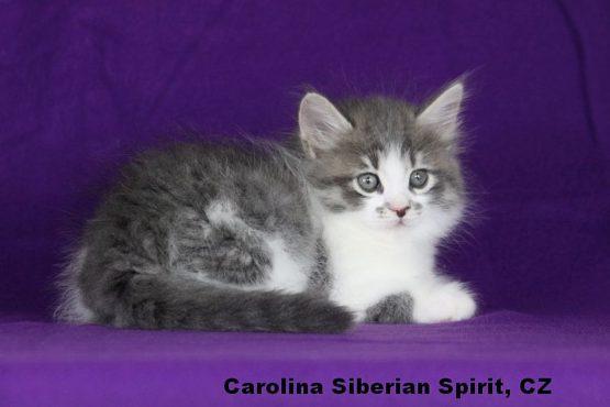Carolina Siberian Spirit