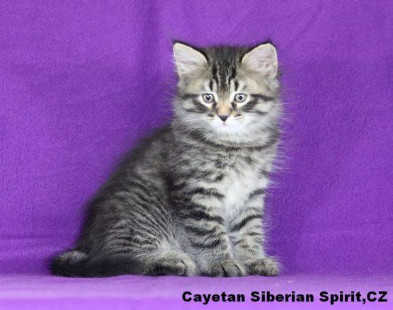 Cayetan Syberian Spirit