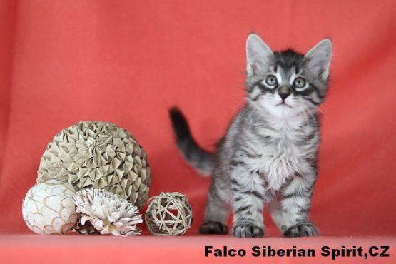 Falco Siberian Spirit CZ